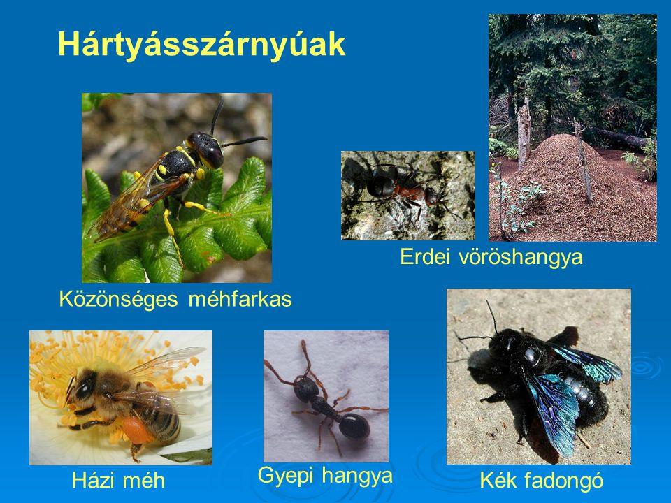 Hártyásszárnyúak Közönséges méhfarkas Erdei vöröshangya Kék fadongóHázi méh Gyepi hangya
