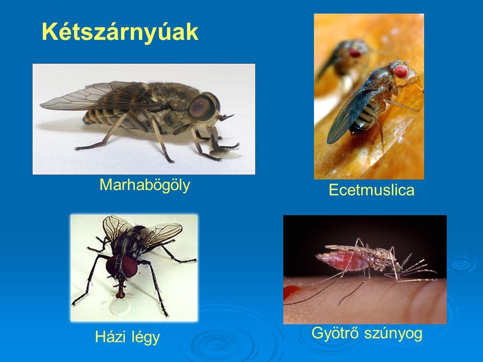 Kétszárnyúak Gyötrő szúnyog Ecetmuslica Marhabögöly Házi légy