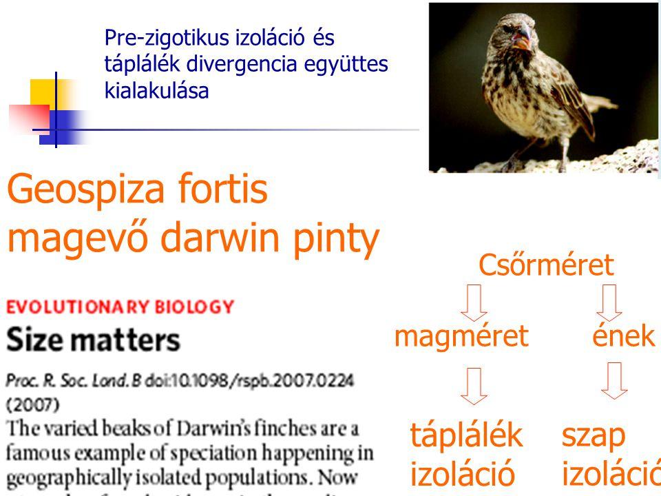 Pre-zigotikus izoláció és táplálék divergencia együttes kialakulása Csőrméret magméretének Geospiza fortis magevő darwin pinty táplálék izoláció szap