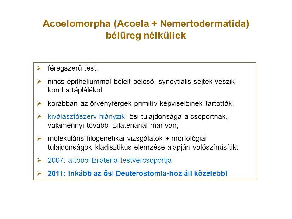 Acoelomorpha (Acoela + Nemertodermatida) bélüreg nélküliek  féregszerű test,  nincs epitheliummal bélelt bélcső, syncytialis sejtek veszik körül a t