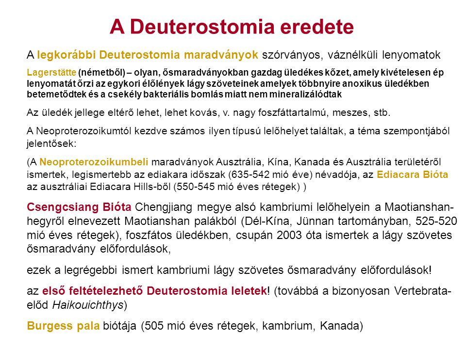 A Deuterostomia eredete A Csengcsiang Biótából ismert első feltételezett Deuterostomia-k: Vetulicolia csoport (Vetulicola) Yunnanozoa csoport (Yunnanozoon, Haikouella) számos hipotézis testfelépítés és rokonsági viszonyok vonatkozásában, még mindig elég vitatottak Azonosítható Deuterostomia-rokon csoportok, pl.