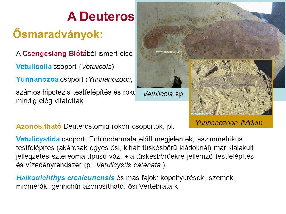 A Deuterostomia eredete A Csengcsiang Biótából ismert első feltételezett Deuterostomia-k: Vetulicolia csoport (Vetulicola) Yunnanozoa csoport (Yunnano