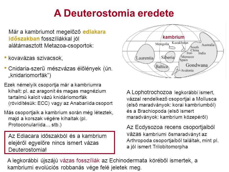"""A Deuterostomia eredete kambrium kovavázas szivacsok, Cnidaria-szerű mészvázas élőlények (ún. """"knidariomorfák"""") Ezek némelyik csoportja már a kambrium"""