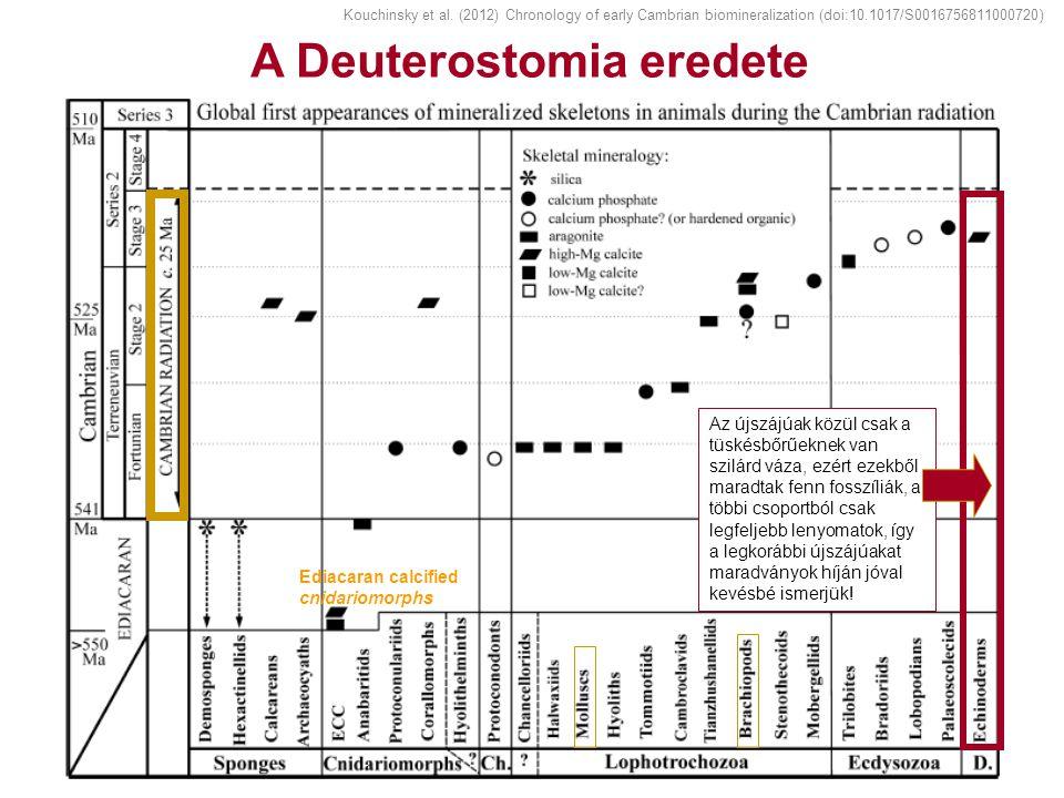 A Deuterostomia eredete Ediacaran calcified cnidariomorphs Az újszájúak közül csak a tüskésbőrűeknek van szilárd váza, ezért ezekből maradtak fenn fos