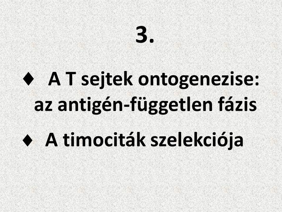  A T sejtek ontogenezise: az antigén-független fázis  A timociták szelekciója 3.3.