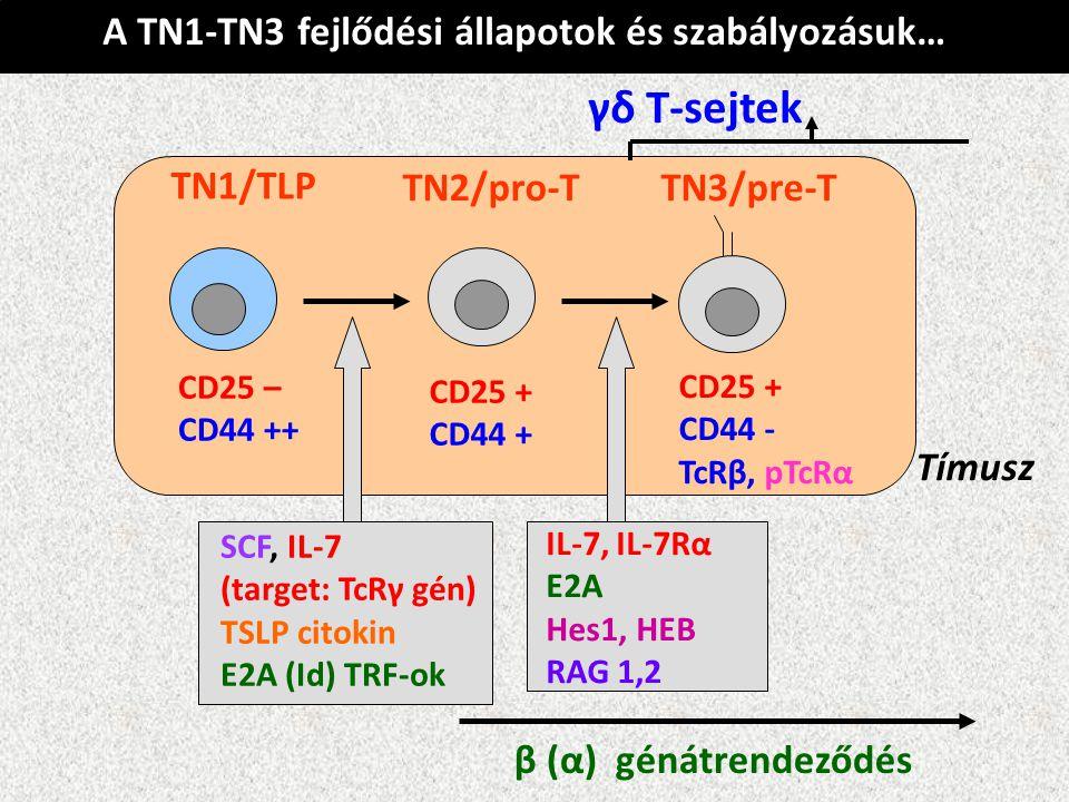 Tímusz TN1/TLP TN2/pro-TTN3/pre-T CD25 – CD44 ++ CD25 + CD44 + CD25 + CD44 - TcRβ, pTcRα A TN1-TN3 fejlődési állapotok és szabályozásuk… SCF, IL-7 (ta