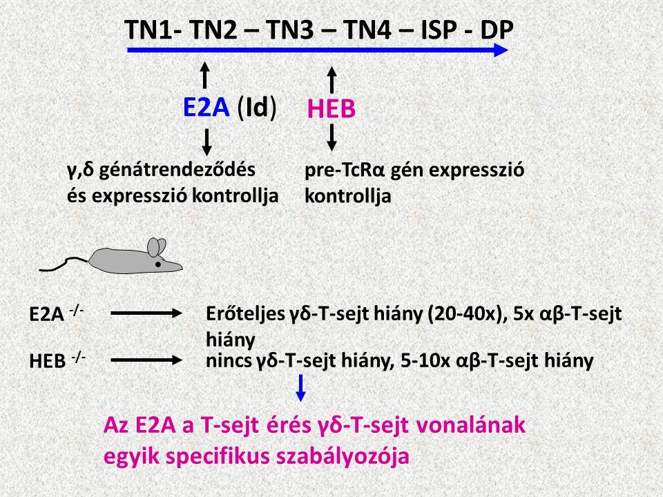 TN1- TN2 – TN3 – TN4 – ISP - DP E2A (Id) HEB γ,δ génátrendeződés és expresszió kontrollja pre-TcRα gén expresszió kontrollja E2A -/- Erőteljes γδ-T-se