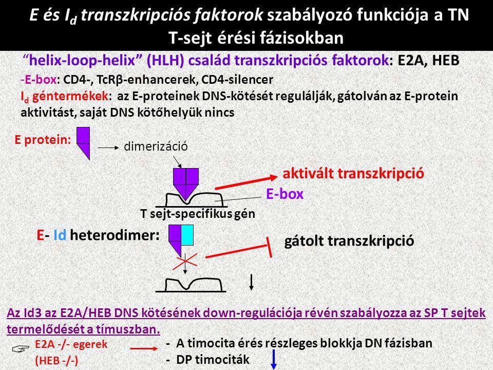 """E és I d transzkripciós faktorok szabályozó funkciója a TN T-sejt érési fázisokban """"helix-loop-helix"""" (HLH) család transzkripciós faktorok: E2A, HEB -"""