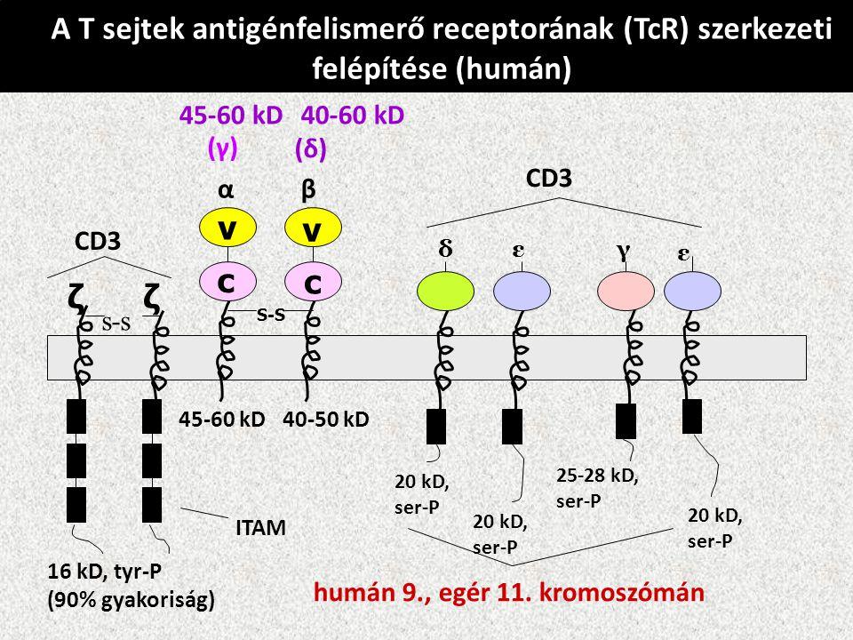 A T sejtek antigénfelismerő receptorának (TcR) szerkezeti felépítése (humán) v c v c S-S s-s ζ ζ αβ δεγ ε CD3 ITAM (γ) (δ) CD3 45-60 kD40-60 kD 40-50