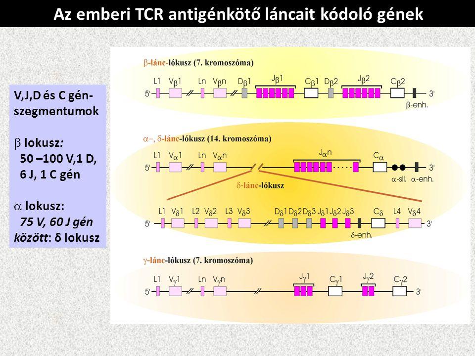 Az emberi TCR antigénkötő láncait kódoló gének V,J,D és C gén- szegmentumok  lokusz: 50 –100 V,1 D, 6 J, 1 C gén  lokusz: 75 V, 60 J gén között: δ l