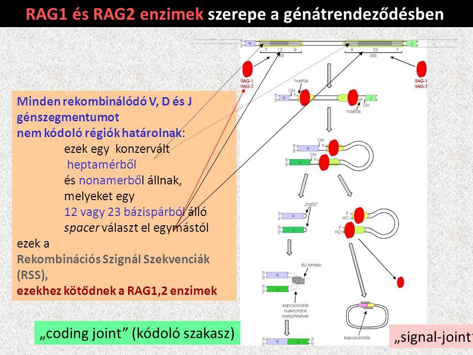 RAG1 és RAG2 enzimek szerepe a génátrendeződésben Minden rekombinálódó V, D és J génszegmentumot nem kódoló régiók határolnak: ezek egy konzervált hep