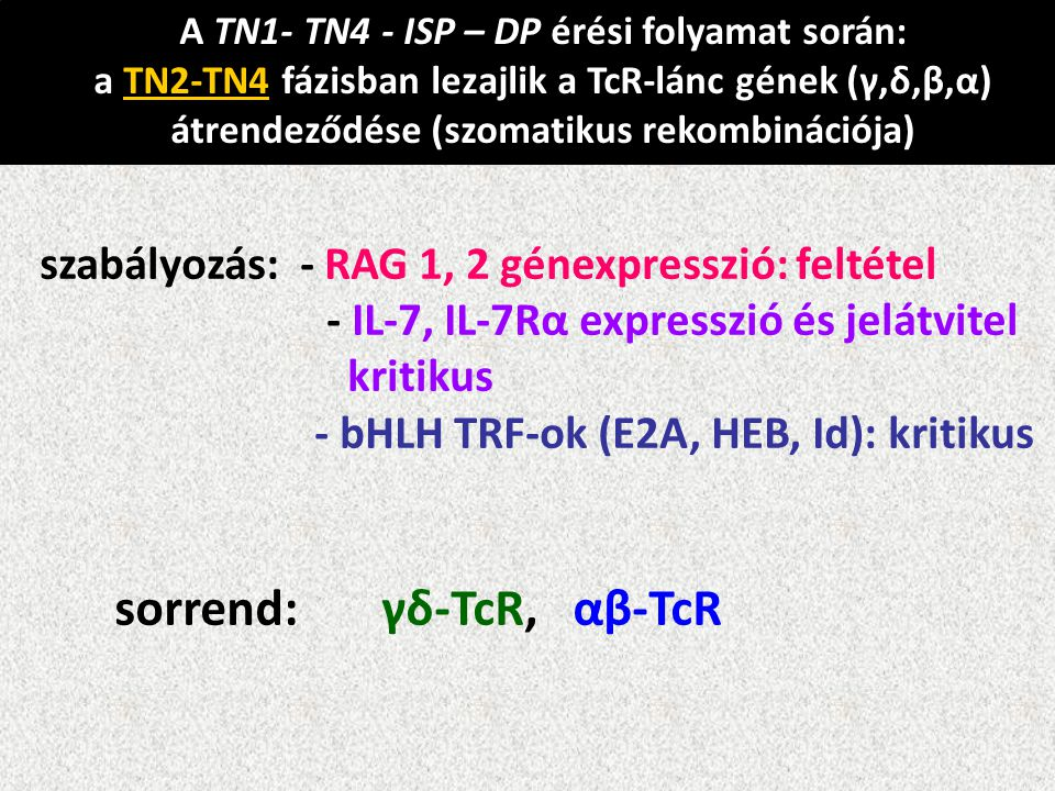 A TN1- TN4 - ISP – DP érési folyamat során: a TN2-TN4 fázisban lezajlik a TcR-lánc gének (γ,δ,β,α) átrendeződése (szomatikus rekombinációja) szabályoz
