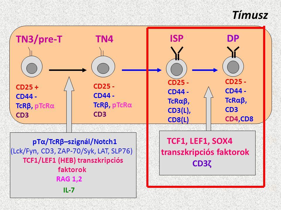 Tímusz TN3/pre-T CD25 + CD44 - TcRβ, pTcRα CD3 TN4 CD25 - CD44 - TcRβ, pTcRα CD3 ISP CD25 - CD44 - TcRαβ, CD3(L), CD8(L) CD25 - CD44 - TcRαβ, CD3 CD4,
