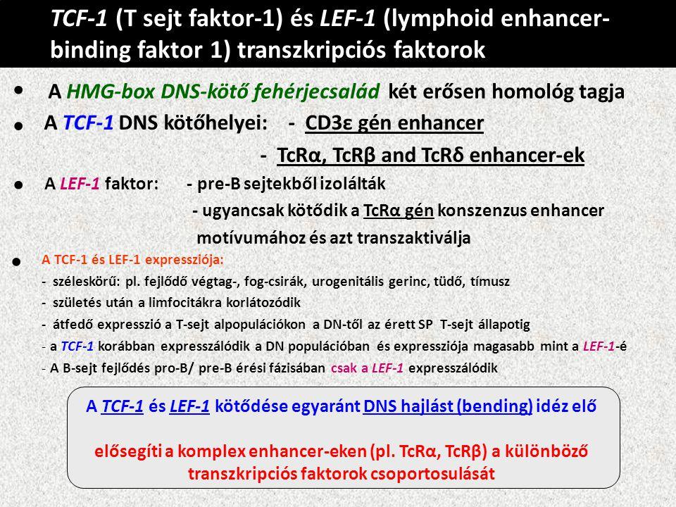 TCF-1 (T sejt faktor-1) és LEF-1 (lymphoid enhancer- binding faktor 1) transzkripciós faktorok A HMG-box DNS-kötő fehérjecsalád két erősen homológ tag