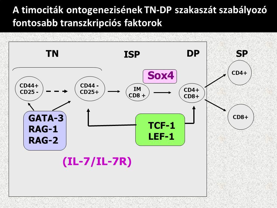 A timociták ontogenezisének TN-DP szakaszát szabályozó fontosabb transzkripciós faktorok CD4+ CD44+ CD25 - CD44 - CD25+ IM CD8 + CD4+ CD8+ TNTN ISP DP