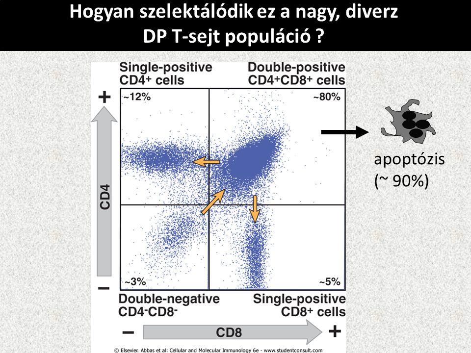 Hogyan szelektálódik ez a nagy, diverz DP T-sejt populáció ? apoptózis (~ 90%)