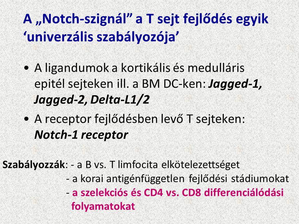 """A """"Notch-szignál"""" a T sejt fejlődés egyik 'univerzális szabályozója' A ligandumok a kortikális és medulláris epitél sejteken ill. a BM DC-ken: Jagged-"""