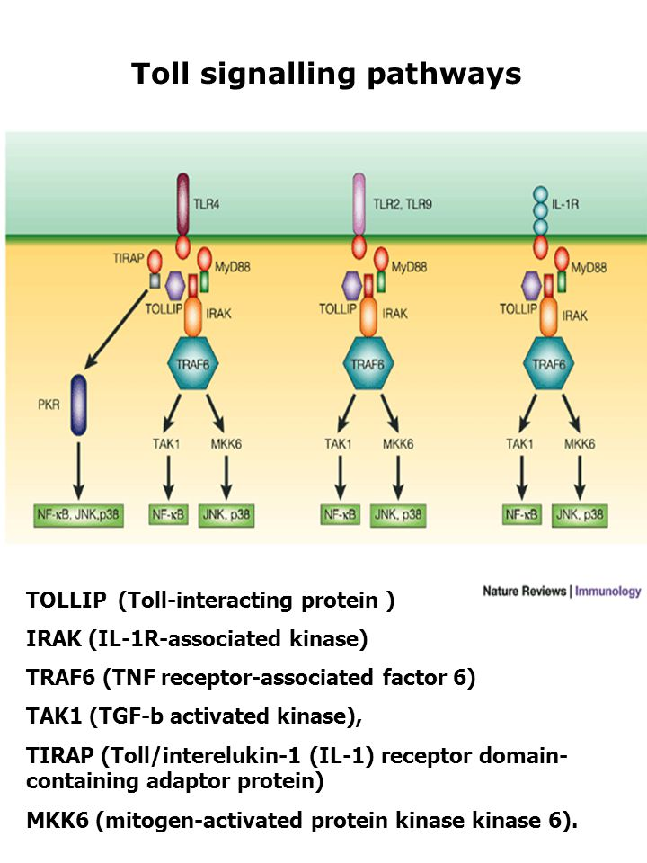 TOLLIP (Toll-interacting protein ) IRAK (IL-1R-associated kinase) TRAF6 (TNF receptor-associated factor 6) TAK1 (TGF-b activated kinase), TIRAP (Toll/interelukin-1 (IL-1) receptor domain- containing adaptor protein) MKK6 (mitogen-activated protein kinase kinase 6).