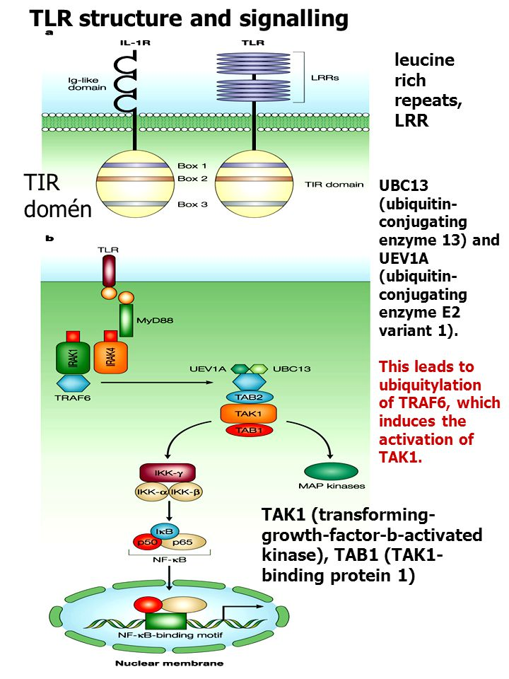 TAK1 (transforming- growth-factor-b-activated kinase), TAB1 (TAK1- binding protein 1) leucine rich repeats, LRR UBC13 (ubiquitin- conjugating enzyme 13) and UEV1A (ubiquitin- conjugating enzyme E2 variant 1).