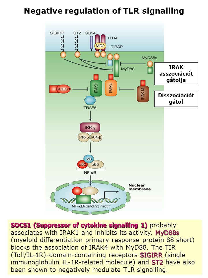 Negative regulation of TLR signalling SOCS1 (Suppressor ofcytokine signalling 1) MyD88s SIGIRR ST2 SOCS1 (Suppressor of cytokine signalling 1) probably associates with IRAK1 and inhibits its activity.