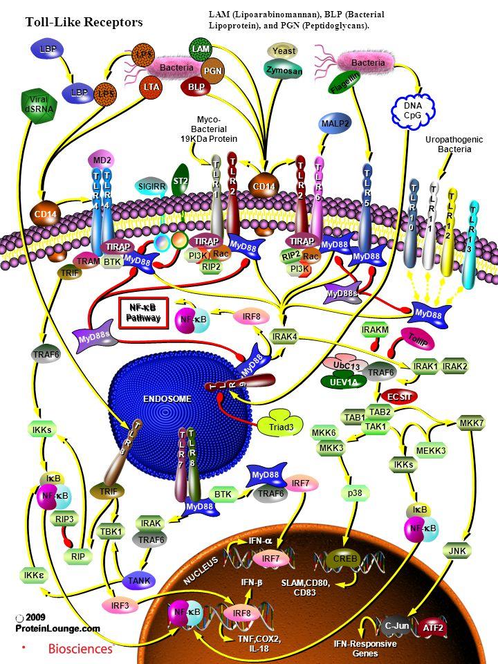 TAB1 MD2 TRIF MyD88 UbC13 Bacteria MALP2 Flagellin Yeast Zymosan Bacteria LBP CD14 SIGIRR ST2 MyD88s TRIF TRAF6 MyD88 TRAF6 MyD88s Triad3 UEV1A ECSIT