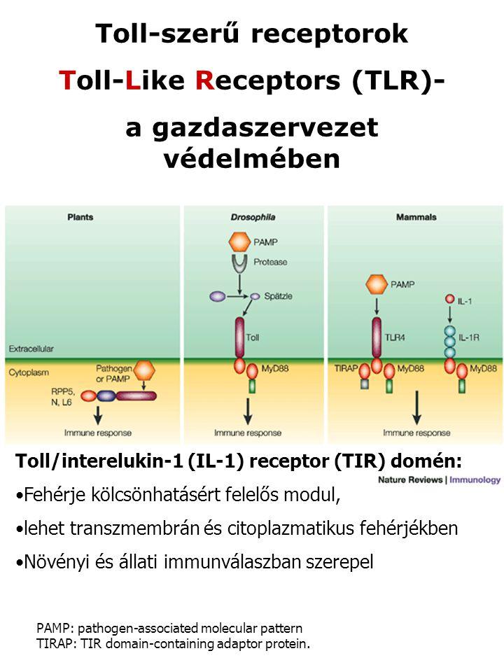 Toll-szerű receptorok Toll-Like Receptors (TLR)- a gazdaszervezet védelmében Toll/interelukin-1 (IL-1) receptor (TIR) domén: Fehérje kölcsönhatásért f