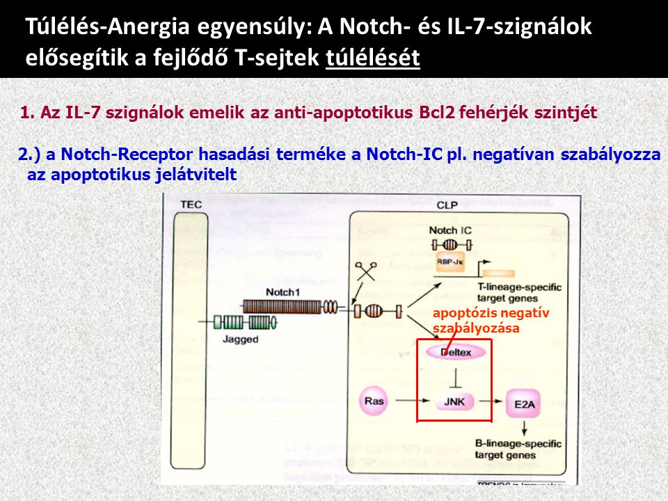 Túlélés-Anergia egyensúly: A Notch- és IL-7-szignálok elősegítik a fejlődő T-sejtek túlélését 2.) a Notch-Receptor hasadási terméke a Notch-IC pl.
