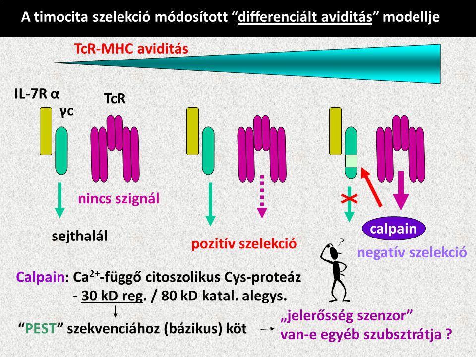 A timocita szelekció módosított differenciált aviditás modellje TcR-MHC aviditás IL-7R α γc TcR calpain nincs szignál sejthalál pozitív szelekció negatív szelekció Calpain: Ca 2+ -függő citoszolikus Cys-proteáz - 30 kD reg.