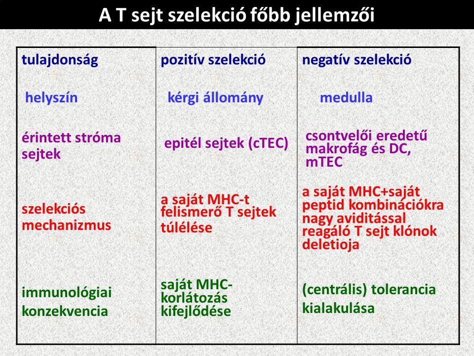tulajdonságpozitív szelekciónegatív szelekció helyszín érintett stróma sejtek szelekciós mechanizmus immunológiai konzekvencia kérgi állomány epitél sejtek (cTEC) a saját MHC-t felismerő T sejtek túlélése saját MHC- korlátozás kifejlődése medulla csontvelői eredetű makrofág és DC, mTEC a saját MHC+saját peptid kombinációkra nagy aviditással reagáló T sejt klónok deletioja (centrális) tolerancia kialakulása A T sejt szelekció főbb jellemzői