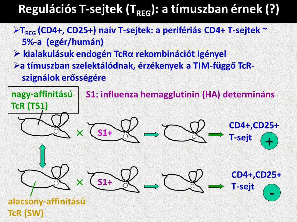 Regulációs T-sejtek (T REG ): a tímuszban érnek (?)  T REG (CD4+, CD25+) naív T-sejtek: a perifériás CD4+ T-sejtek ~ 5%-a (egér/humán)  kialakulásuk endogén TcRα rekombinációt igényel  a tímuszban szelektálódnak, érzékenyek a TIM-függő TcR- szignálok erősségére S1: influenza hemagglutinin (HA) determináns × nagy-affinitású TcR (TS1) S1+ CD4+,CD25+ T-sejt + alacsony-affinitású TcR (SW) × S1+ CD4+,CD25+ T-sejt -