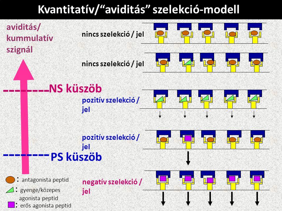 Kvantitatív/ aviditás szelekció-modell nincs szelekció / jel pozitív szelekció / jel pozitív szelekció / jel negatív szelekció / jel aviditás/ kummulatív szignál -------- PS küszöb -------- NS küszöb : antagonista peptid : gyenge/közepes agonista peptid : erős agonista peptid