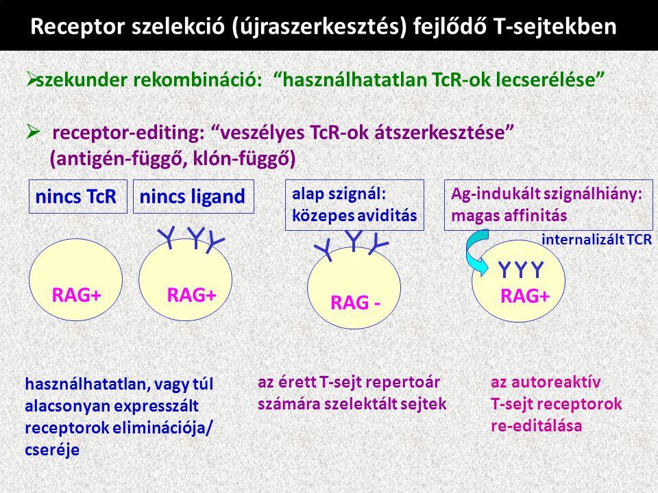Receptor szelekció (újraszerkesztés) fejlődő T-sejtekben  szekunder rekombináció: használhatatlan TcR-ok lecserélése  receptor-editing: veszélyes TcR-ok átszerkesztése (antigén-függő, klón-függő) használhatatlan, vagy túl alacsonyan expresszált receptorok eliminációja/ cseréje RAG+ nincs TcRnincs ligand RAG - alap szignál: közepes aviditás az érett T-sejt repertoár számára szelektált sejtek internalizált TCR RAG+ Ag-indukált szignálhiány: magas affinitás az autoreaktív T-sejt receptorok re-editálása