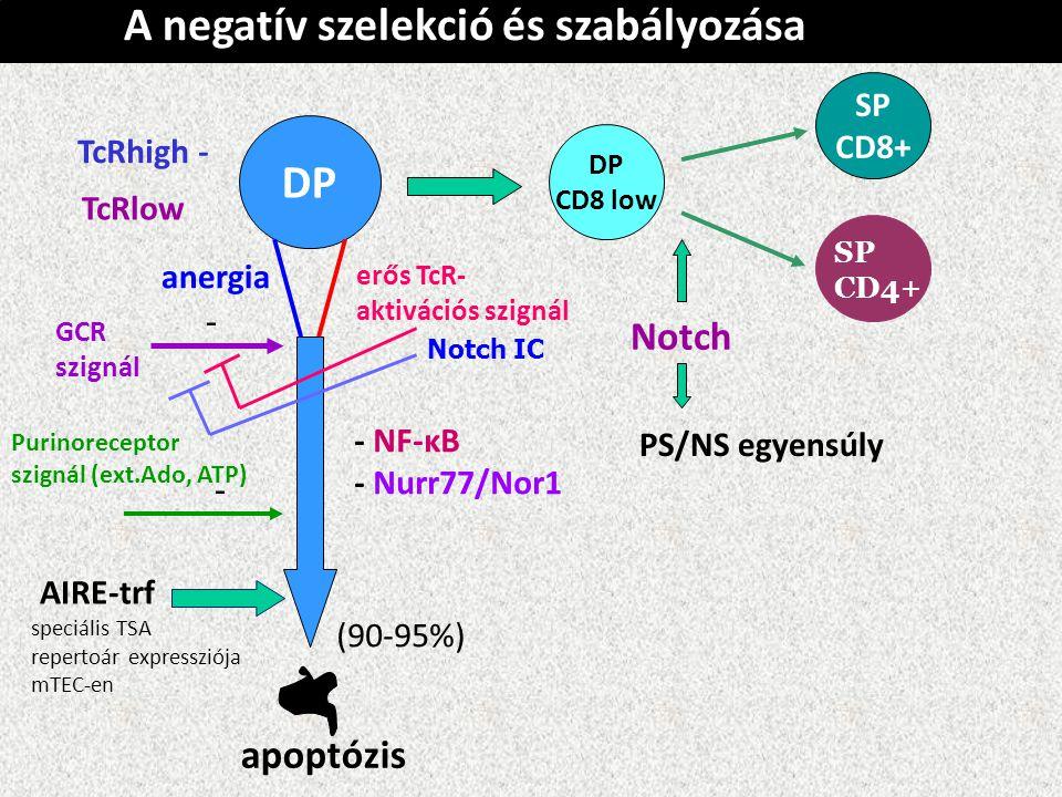 A negatív szelekció és szabályozása DP TcRhigh - TcRlow apoptózis DP CD8 low anergia erős TcR- aktivációs szignál SP CD8+ SP CD4+ GCR szignál Purinoreceptor szignál (ext.Ado, ATP) Notch IC - - - NF-κB - Nurr77/Nor1 (90-95%) Notch PS/NS egyensúly AIRE-trf speciális TSA repertoár expressziója mTEC-en