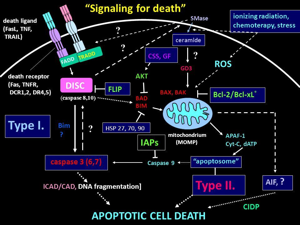 """""""Signaling for death"""" death ligand (FasL, TNF, TRAIL) death receptor (Fas, TNFR, DCR1,2, DR4,5) FADD TRADD DISC (caspase 8,10) Type I. caspase 3 (6,7)"""