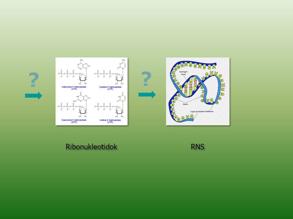 Ribonukleotidok RNS ? ?