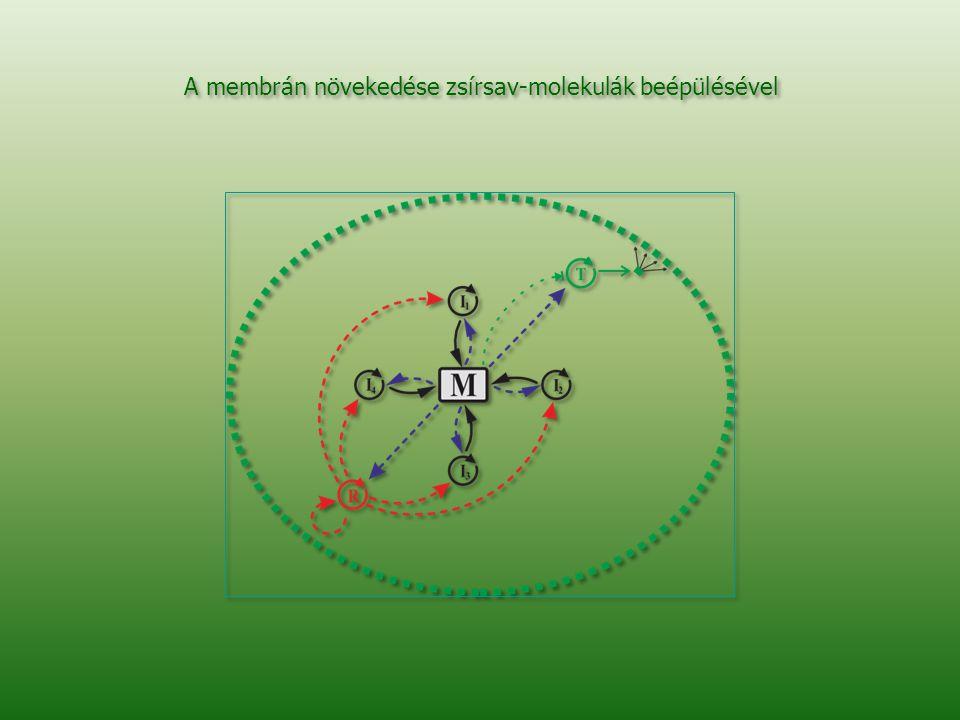 A membrán növekedése zsírsav-molekulák beépülésével