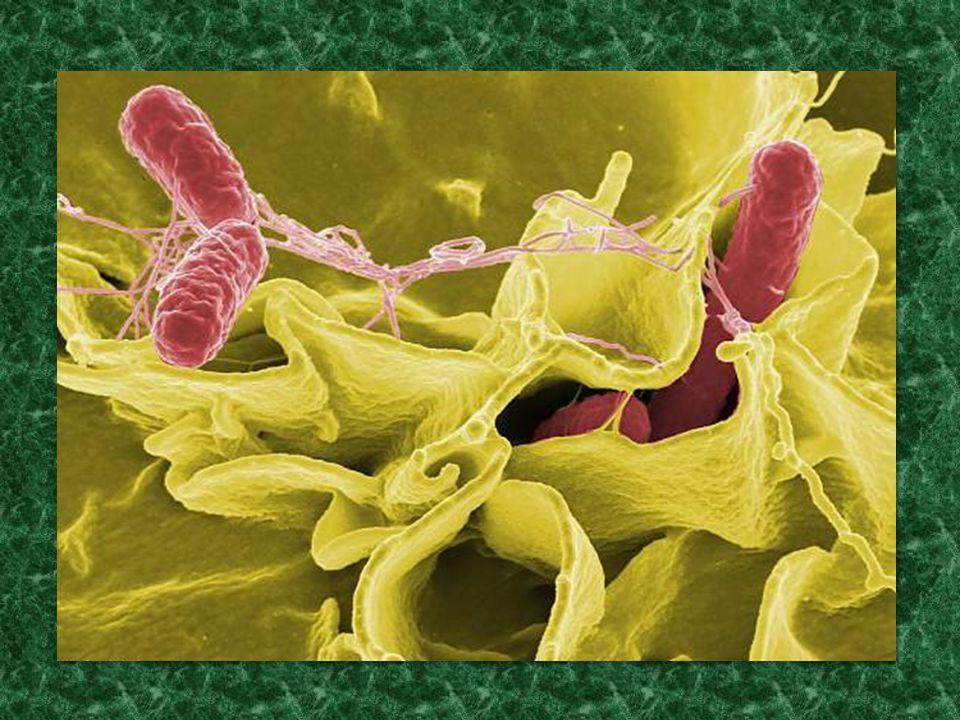"""A bakteriális együttműködés formái: exoenzimek termelése (sejten kívüli táplálék emésztése) exoenzimek termelése (sejten kívüli táplálék emésztése) sziderofor táplálék-feltáró anyagok termelése (Fe 3+ ionok oldatba vitele és felvétele) sziderofor táplálék-feltáró anyagok termelése (Fe 3+ ionok oldatba vitele és felvétele) bakteriocin-produkció (kompetítorok távoltartása) bakteriocin-produkció (kompetítorok távoltartása) virulencia-faktorok expressziója (gazdaszervezet inváziója patogén baktériumok esetében) virulencia-faktorok expressziója (gazdaszervezet inváziója patogén baktériumok esetében) biofilm-képzés (nagyobb együttműködő kolóniák kialakítása) biofilm-képzés (nagyobb együttműködő kolóniák kialakítása) … Minden esetben """"közhasznú javak (public goods) előállítása jelenti az együttműködést"""