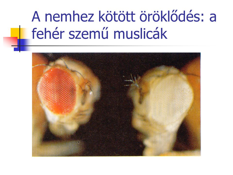 A nemhez kötött öröklődés: a fehér szemű muslicák