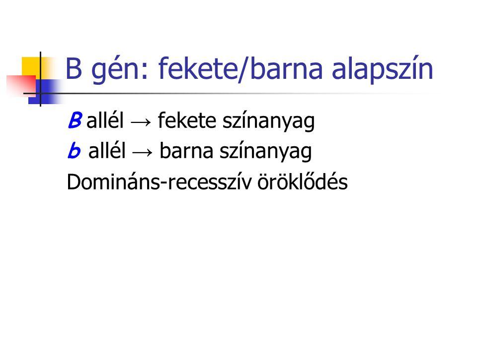 B gén: fekete/barna alapszín B allél → fekete színanyag b allél → barna színanyag Domináns-recesszív öröklődés