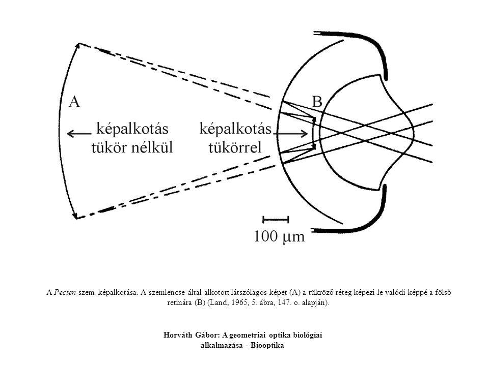 A Pecten-szem képalkotása. A szemlencse által alkotott látszólagos képet (A) a tükröző réteg képezi le valódi képpé a fölső retinára (B) (Land, 1965,