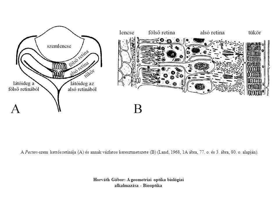 A Pecten-szem kettős retinája (A) és annak vázlatos keresztmetszete (B) (Land, 1968, 1A ábra, 77. o. és 3. ábra, 80. o. alapján). Horváth Gábor: A geo