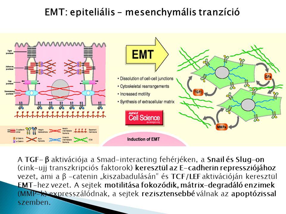 EMT: epiteliális – mesenchymális tranzíció A TGF- β aktivációja a Smad-interacting fehérjéken, a Snail és Slug-on (cink-ujj transzkripciós faktorok) k