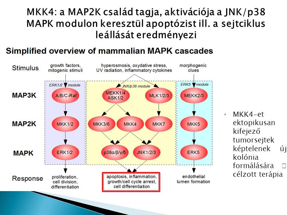 MKK4: a MAP2K család tagja, aktivációja a JNK/p38 MAPK modulon keresztül apoptózist ill. a sejtciklus leállását eredményezi MKK4-et ektopikusan kifeje