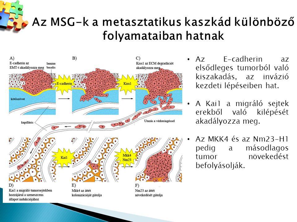 Az MSG-k a metasztatikus kaszkád különböző folyamataiban hatnak Az E-cadherin az elsődleges tumorból való kiszakadás, az invázió kezdeti lépéseiben ha