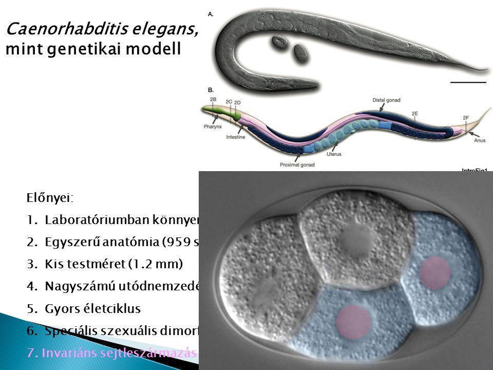 Előnyei: 1.Laboratóriumban könnyen fenntartható 2.Egyszerű anatómia (959 szomatikus sejt, 302 neuron, átlátszó testfal) 3.Kis testméret (1.2 mm) 4.Nag