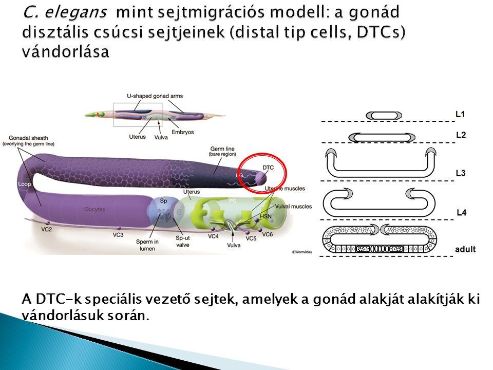 A DTC-k speciális vezető sejtek, amelyek a gonád alakját alakítják ki vándorlásuk során.