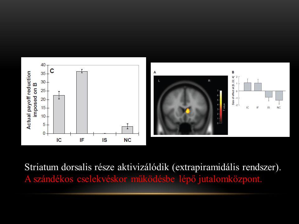 Striatum dorsalis része aktivizálódik (extrapiramidális rendszer). A szándékos cselekvéskor működésbe lépő jutalomközpont.