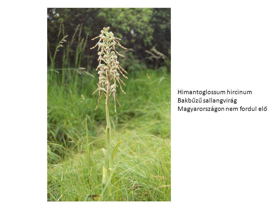 Himantoglossum hircinum Bakbűzű sallangvirág Magyarországon nem fordul elő