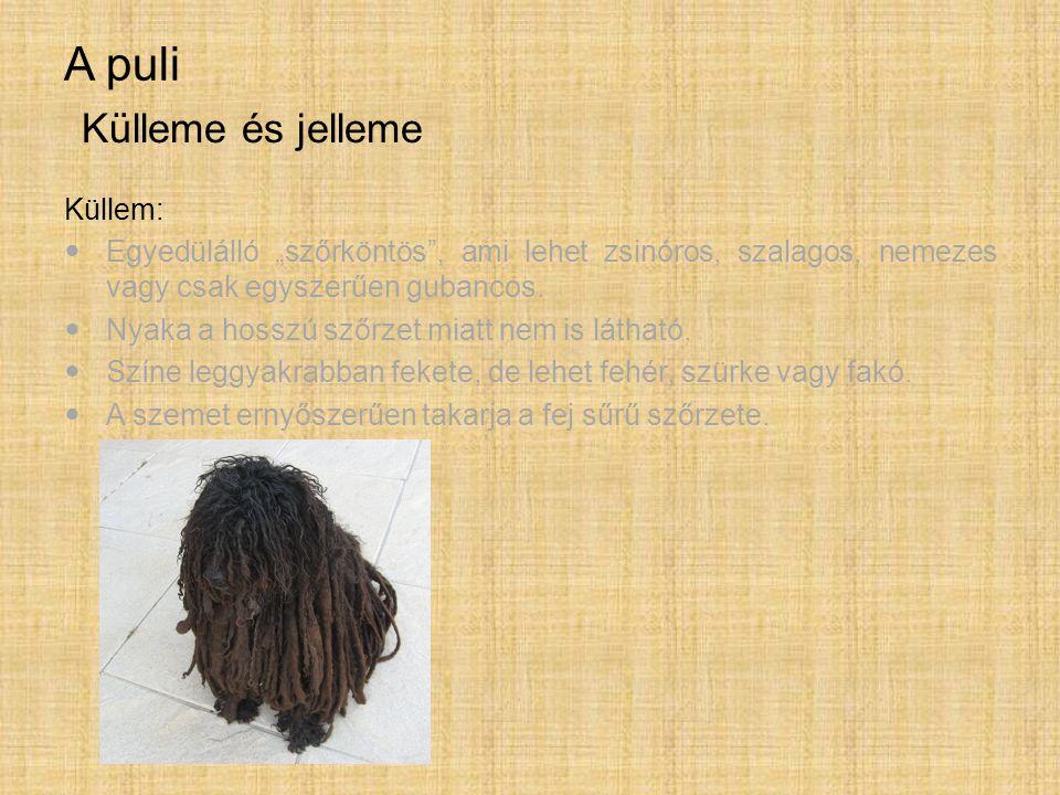 """A puli Küllem: Egyedülálló """"szőrköntös"""", ami lehet zsinóros, szalagos, nemezes vagy csak egyszerűen gubancos. Nyaka a hosszú szőrzet miatt nem is láth"""