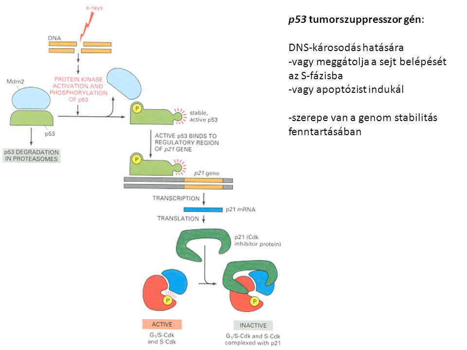 p53 tumorszuppresszor gén: DNS-károsodás hatására -vagy meggátolja a sejt belépését az S-fázisba -vagy apoptózist indukál -szerepe van a genom stabili